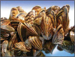 Zebra Mussels - Virginia Department of Game and Inland Fisheries